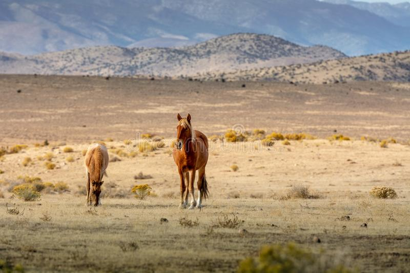 A mustang mare and her colt in the desert stock images