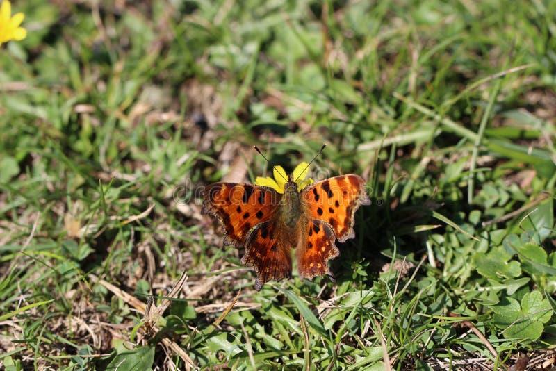Brown negro modeló la mariposa que se colocaba en la flor fotografía de archivo libre de regalías