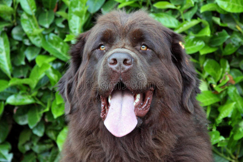 Brown Newfoundland. Close up of a newfoundland dog,with flowers in the background stock photo