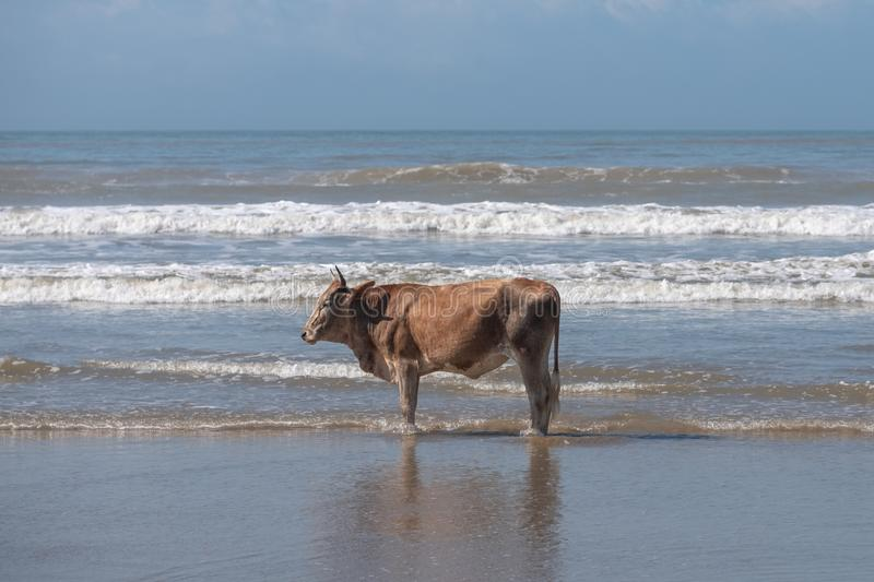 Brown Nguni cow stands in the sea at Second Beach, Port St Johns on the wild coast in Transkei, South Africa. Brown Nguni cow on the sand at Second Beach, Port stock photos