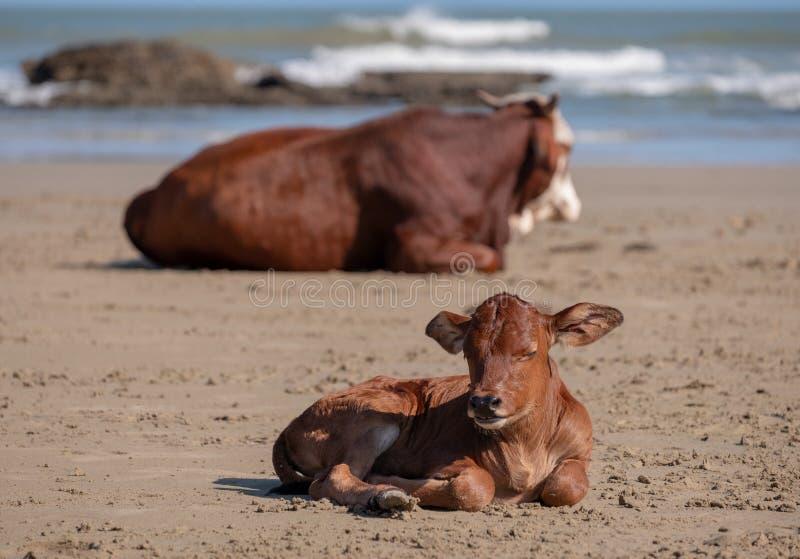 Brown Nguni krowa i potomstwa łydkowy kłamstwo w piasku przy Drugi plażą przy portu St Johns na dzikim wybrzeżu w Transkei, Połud obrazy stock