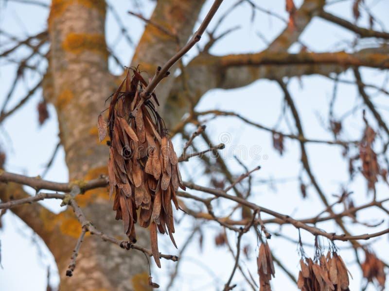 Brown nieboszczyka susi liście wiesza na nagim gałąź jesieni drzewie zdjęcia stock