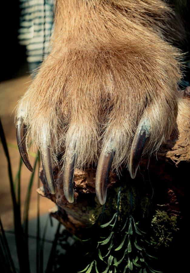 Brown Niedźwiadkowa łapa Z ostrymi pazurami obraz stock