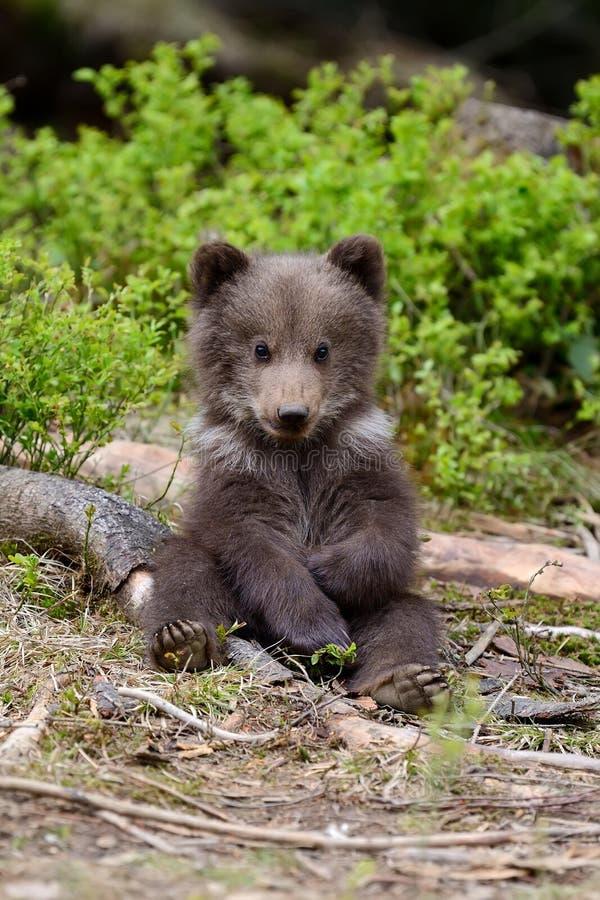 Brown niedźwiadkowy lisiątko zdjęcia royalty free