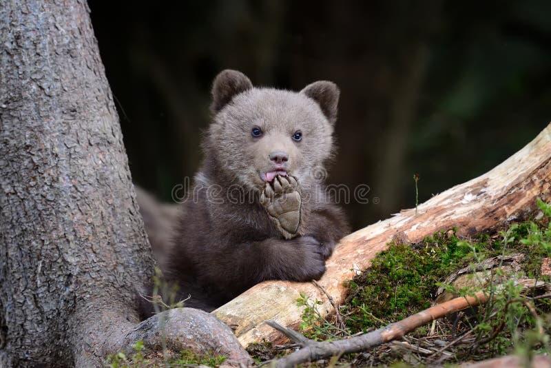 Brown niedźwiadkowy lisiątko zdjęcie stock