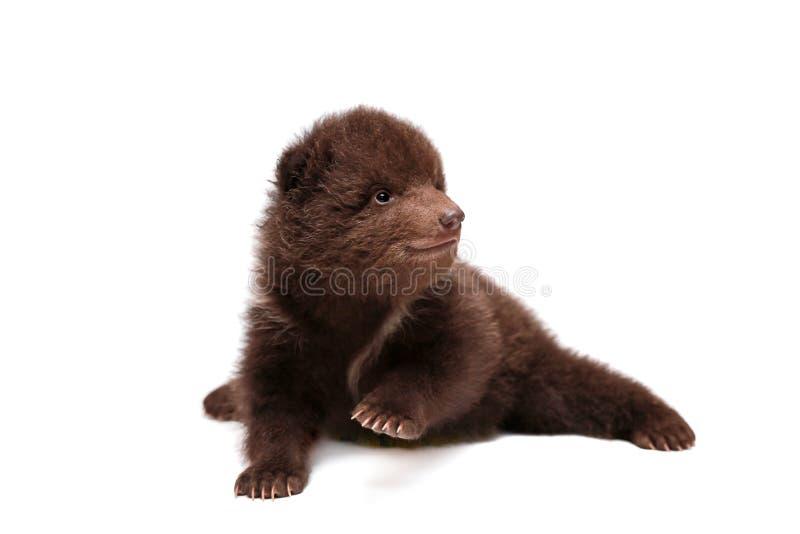 Brown Niedźwiadkowy lisiątko na bielu, (Ursus arctos) obraz royalty free