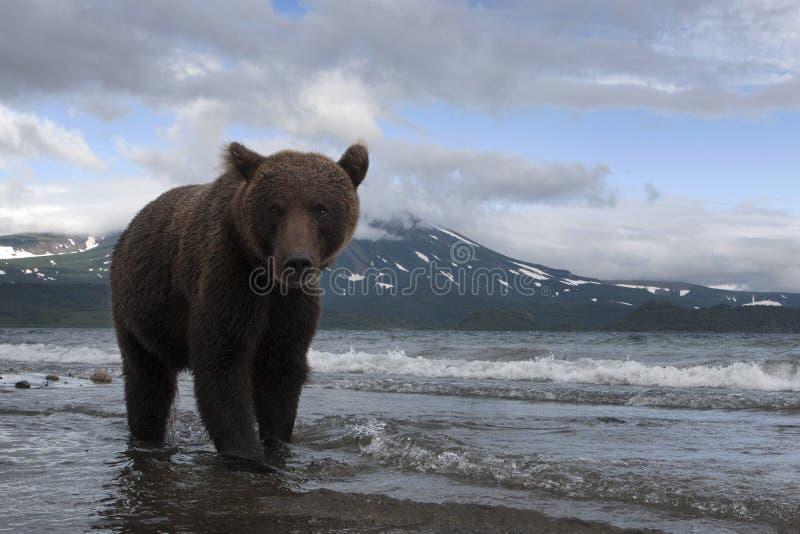 Brown niedźwiedź łapie ryba w jeziorze obrazy royalty free