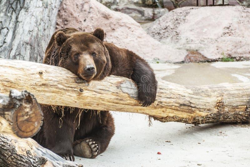 Brown niedźwiedź fotografia stock
