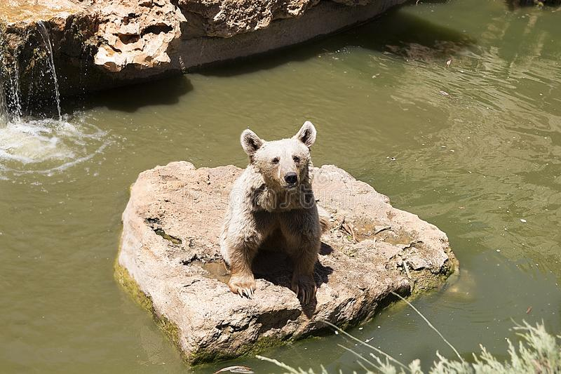 Brown niedźwiedź bawić się blisko wody z kapuścianym liściem w lato słonecznym dniu, zwierzę, niedźwiedź, brąz niebezpieczny, duż fotografia royalty free