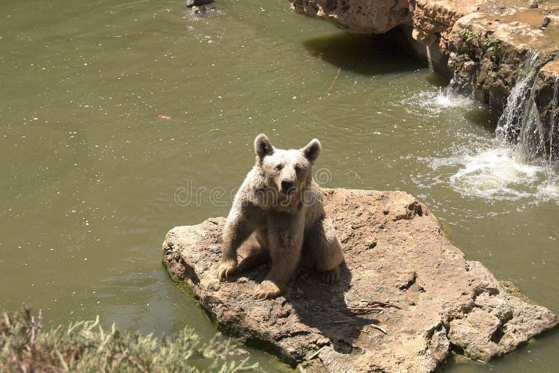 Brown niedźwiedź bawić się blisko wody z kapuścianym liściem w lato słonecznym dniu, zwierzę, niedźwiedź, brąz niebezpieczny, duż zdjęcia royalty free