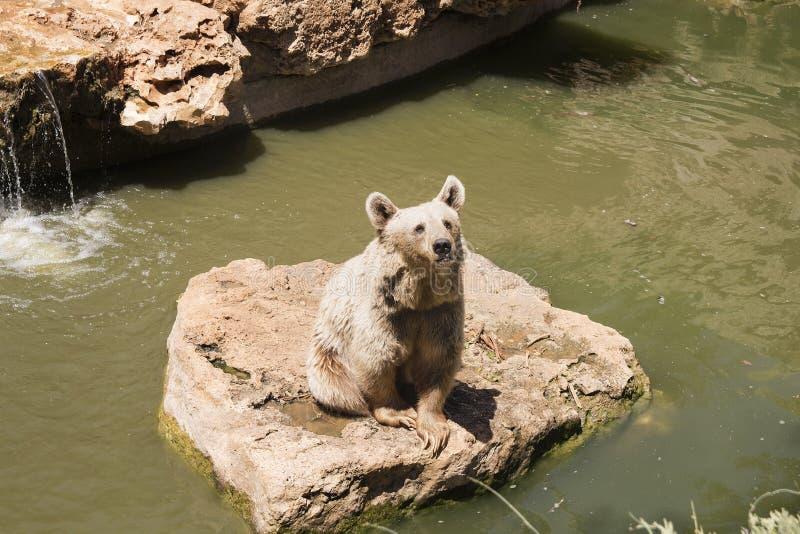 Brown niedźwiedź bawić się blisko wody z kapuścianym liściem w lato słonecznym dniu, zwierzę, niedźwiedź, brąz niebezpieczny, duż obrazy royalty free