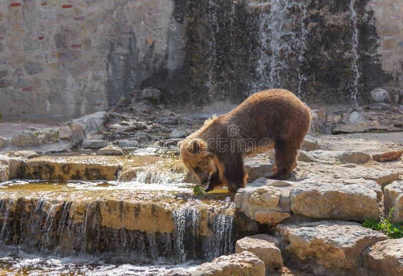 Brown niedźwiedź bawić się blisko wody z liściem kapusta zdjęcie royalty free