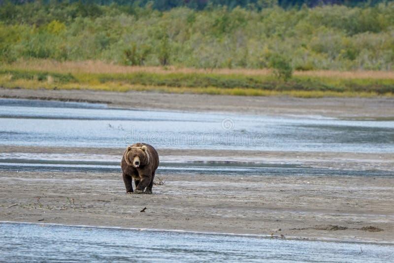 Brown niedźwiedź chodzi brzeg rzeki zdjęcie royalty free