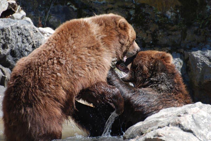 Brown niedźwiedź Gryźć Przy Innym Brown niedźwiedziem obraz royalty free