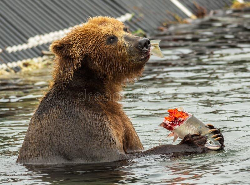 Brown niedźwiedź je łososia łapiącego w Kurile jeziorze zdjęcia stock