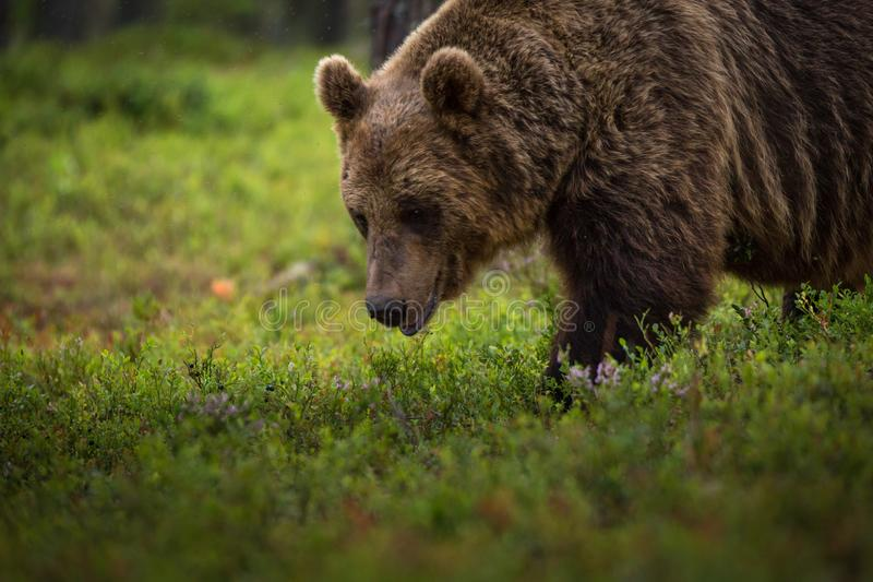 Brown niedźwiedź je czarne jagody obraz stock