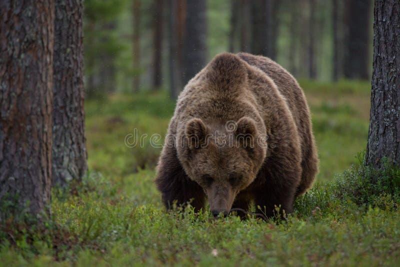 Brown niedźwiedź je czarne jagody ja las fotografia stock