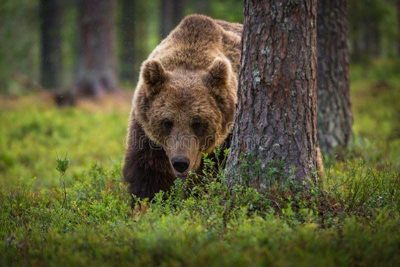 Brown niedźwiedź je czarne jagody ja las zdjęcie royalty free