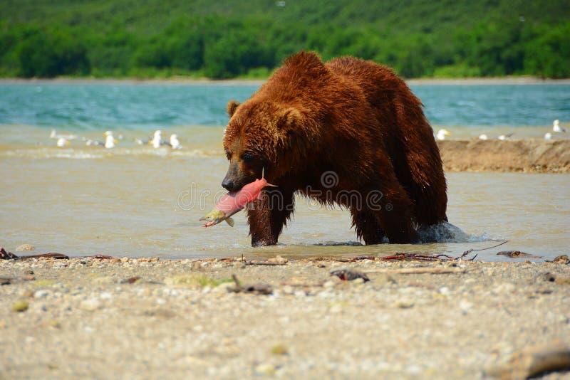 Brown niedźwiedź je dzikiego łososia zdjęcia royalty free