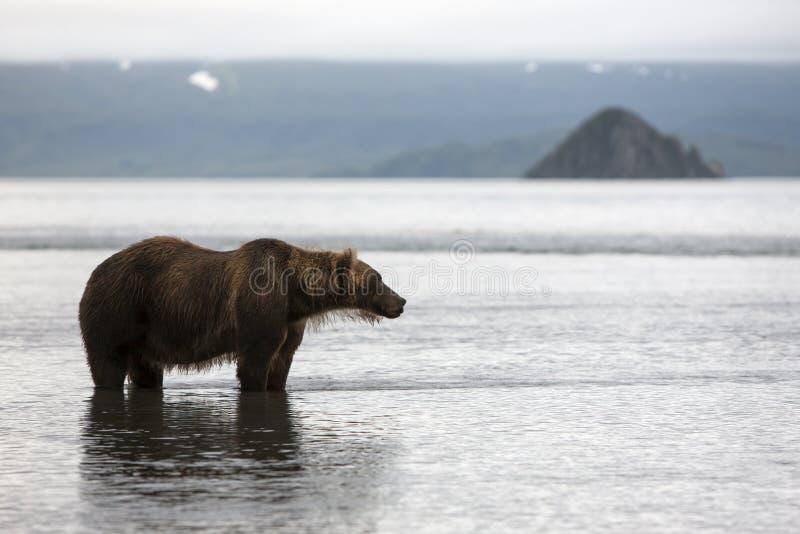 Brown niedźwiedź jest w wodzie obraz royalty free