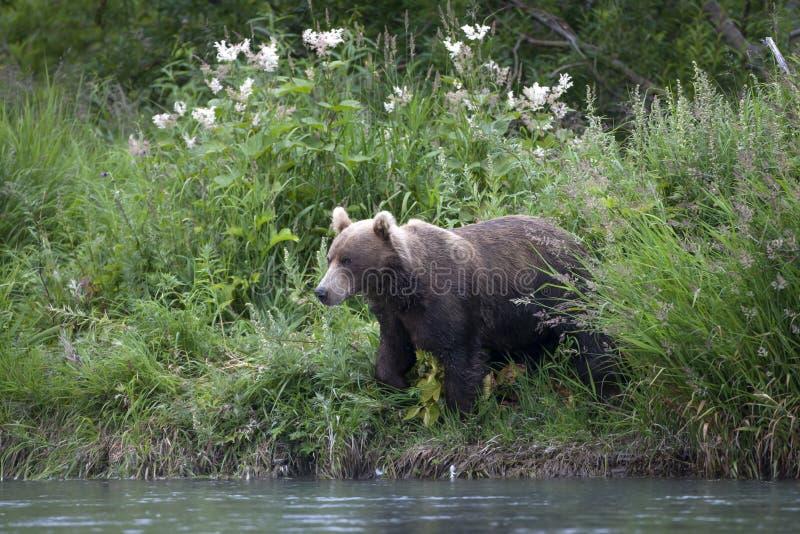 Brown niedźwiedź na zatoczka banku fotografia stock
