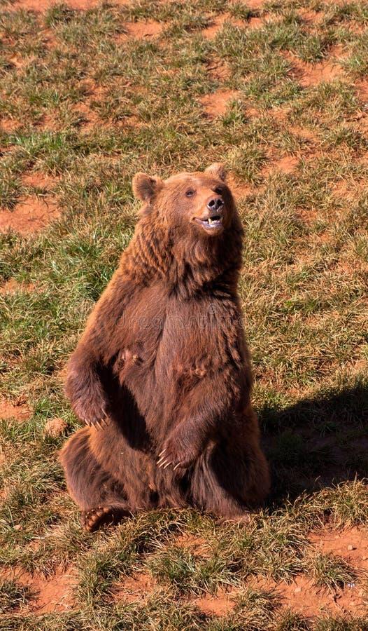 Brown niedźwiedź na zielonej trawie obraz stock