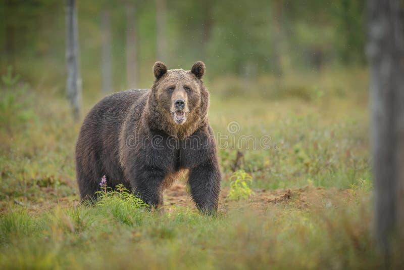Brown niedźwiedź patrzeje bezpośrednio przy kamerą fotografia stock