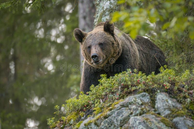 Brown niedźwiedź patrzeje w dół, dziki w Finlandia zdjęcia stock