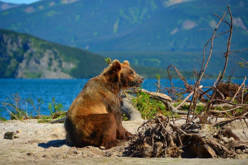 Brown niedźwiedź siedzi w wodzie fotografia royalty free