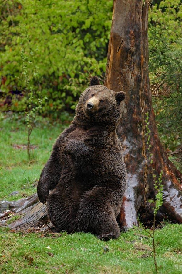 Brown niedźwiedź, Ursus arctos, hideen narys na drzewnym bagażniku w lesie z powrotem obraz stock