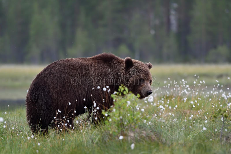 Brown niedźwiedź w bagnie z kwitnąć trawy zdjęcia royalty free