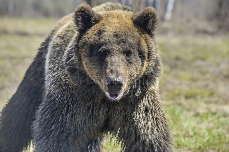 Brown niedźwiedź w lasowym Dużym Brown niedźwiedziu obraz royalty free