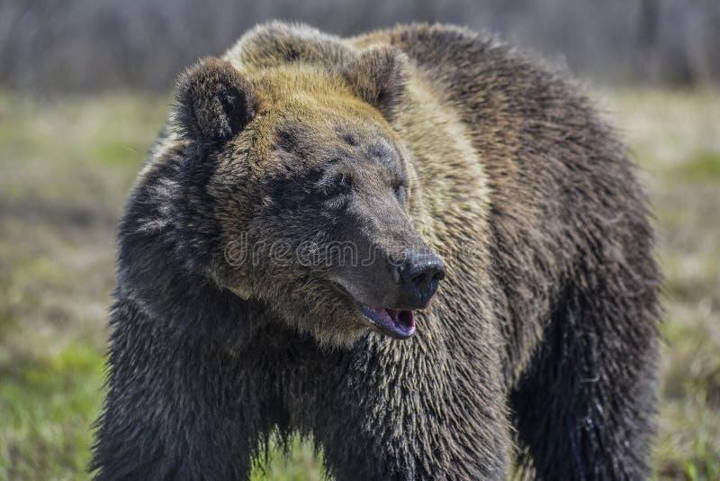 Brown niedźwiedź w lasowym Dużym Brown niedźwiedziu zdjęcie stock