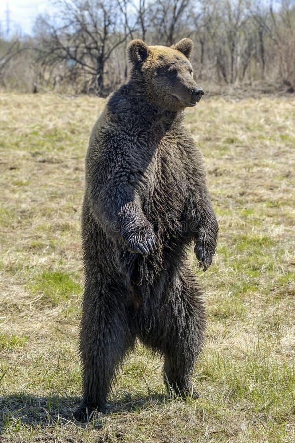 Brown niedźwiedź w lasowym Dużym Brown niedźwiedziu fotografia royalty free