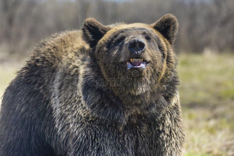 Brown niedźwiedź w lasowym Dużym Brown niedźwiedziu zdjęcia stock