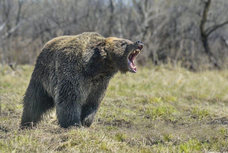 Brown niedźwiedź w lasowym Dużym Brown niedźwiedziu obrazy stock