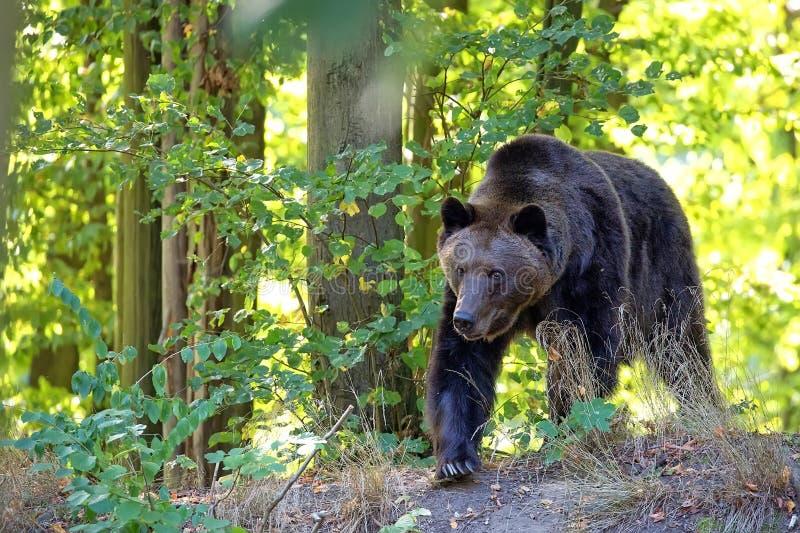 Brown niedźwiedź w lesie zdjęcie stock
