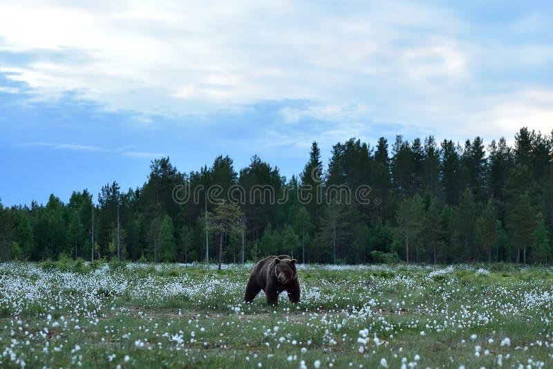 Brown niedźwiedź w tajga krajobrazie zdjęcie stock