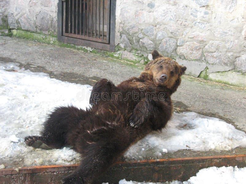 Brown niedźwiedź w zoo obraz royalty free