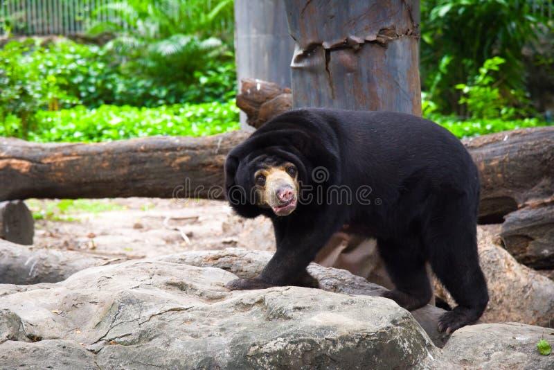 Brown niedźwiedź w zoo duży brązowy niedźwiedź Niedźwiadkowy spacer na skale zdjęcia royalty free