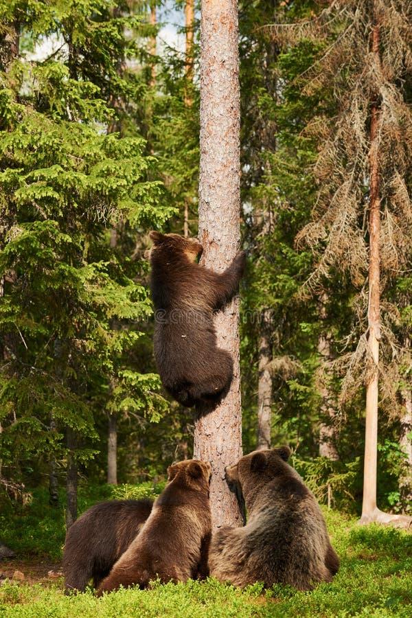 Brown niedźwiedź wspina się na drzewie zdjęcie stock