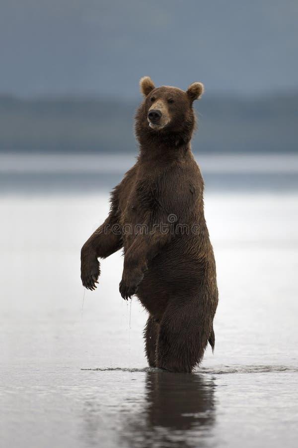 Brown niedźwiedź wzrastał na jego tylnych nogach fotografia royalty free