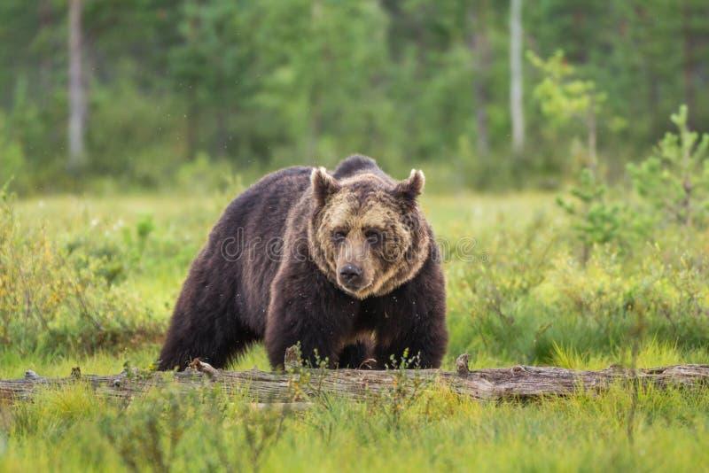 Brown niedźwiedź zalewam fotografia stock