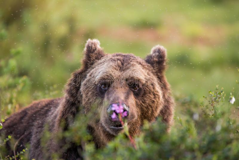 Brown niedźwiedź zalewam patrzeć w kamerę obraz stock