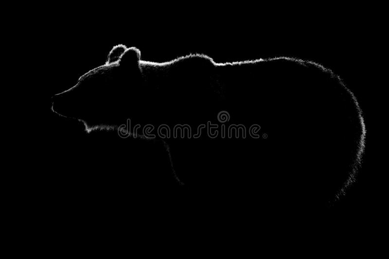 Brown niedźwiedzia ciała kontur odizolowywający w czarnym tle obrazy royalty free