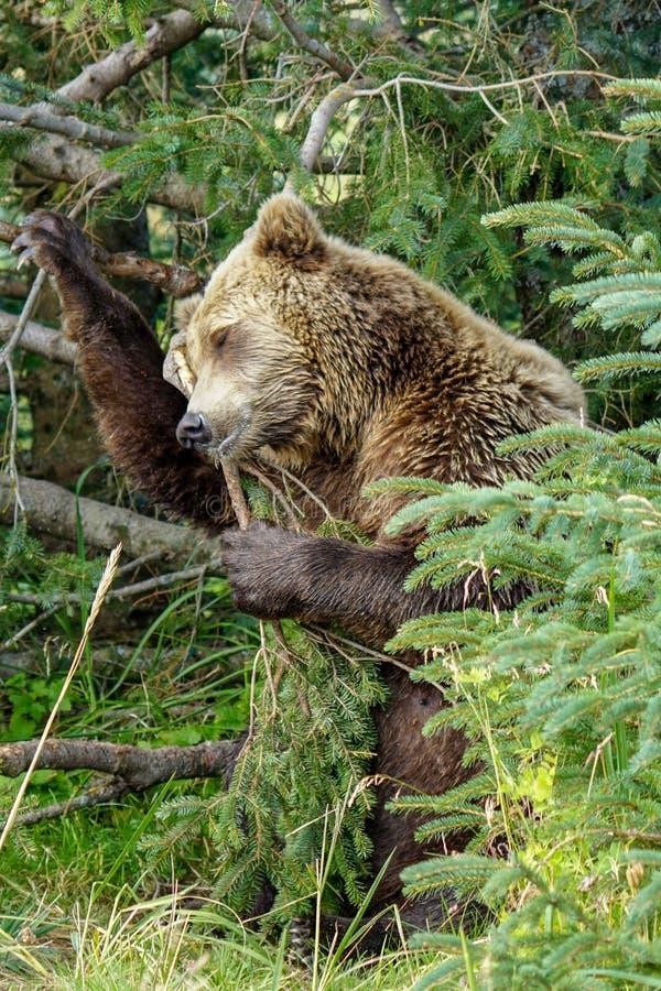 Brown niedźwiedzia drapać fotografia stock