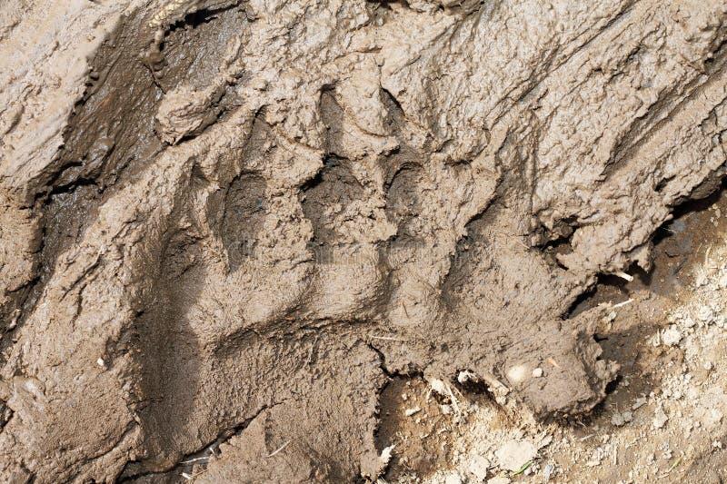 Brown niedźwiedzia odcisk stopy obrazy royalty free