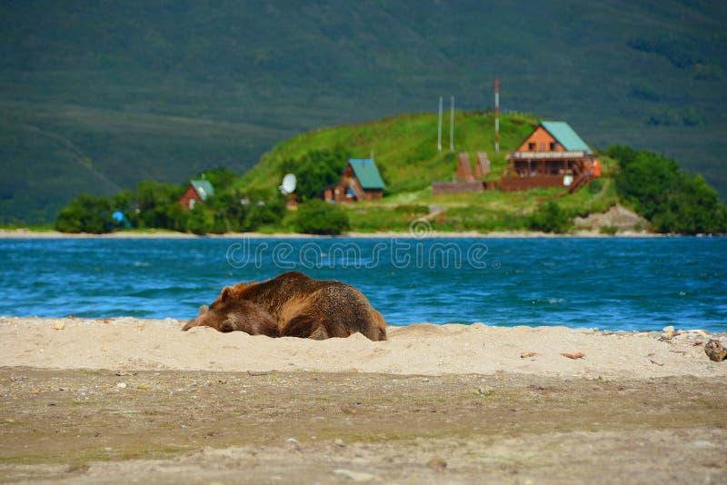 Brown niedźwiedzia odpoczywać obrazy royalty free