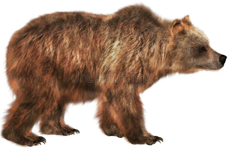 Brown niedźwiedzia przyrody zwierzę, Odizolowywający, natura obraz royalty free