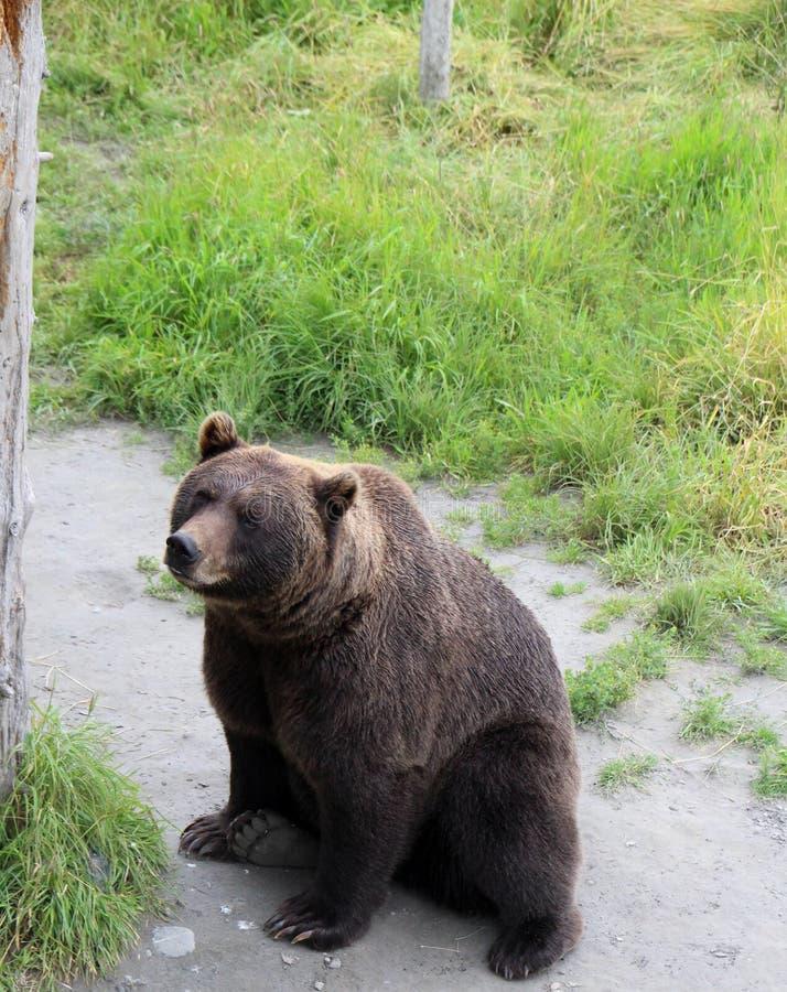 Brown niedźwiedzia siedzieć obraz royalty free